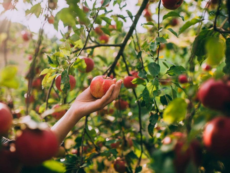 The Popularity of Apple Picking Skyrockets